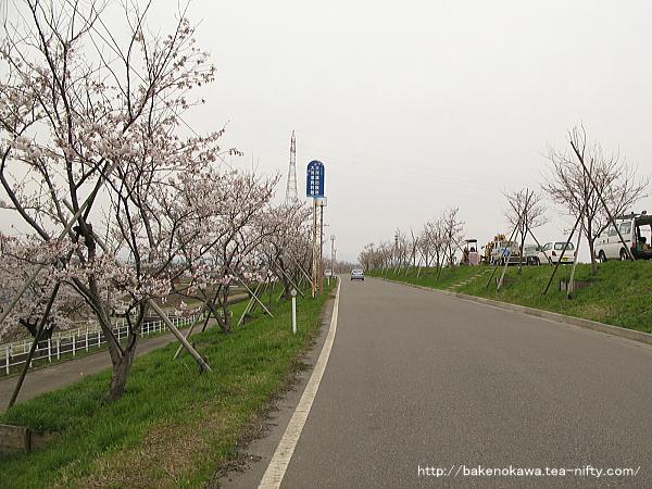 大河津分水沿いの桜並木その1